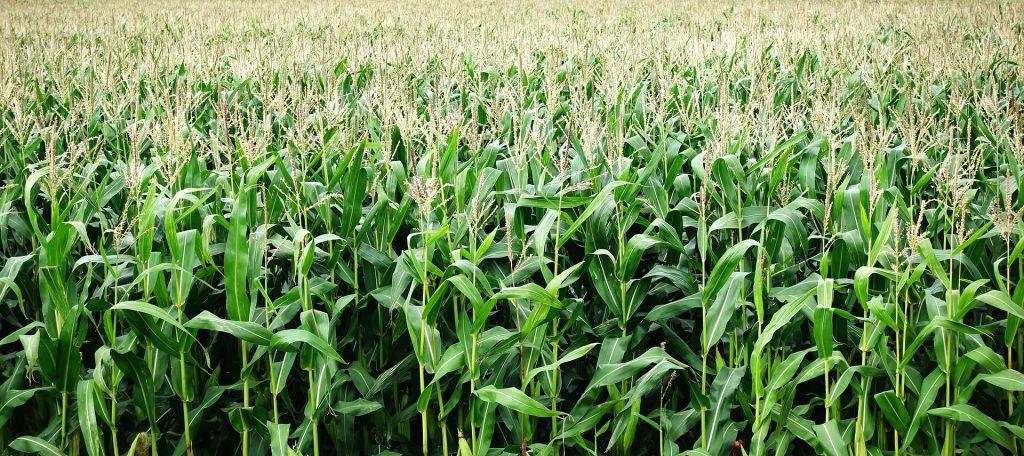 El maíz es fundamental en la industria de Gevo.